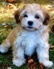 哈瓦那犬成年图片 哈瓦那犬长大后的图片美的让人窒息