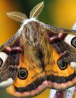 飞蛾图片 飞蛾翅膀上的粉有毒吗
