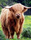 霸气的公牛图片大全 长长的犄角像2把笛子