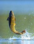 鱼跃出水面的图片 鱼出水面图片大全