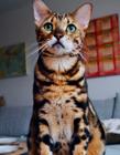 豹猫图片 豹猫是几级保护动物
