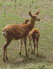梅花鹿照片 �B殖梅花鹿��X��