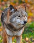 狼是群居还是独居 狼是群居还是独居动物