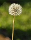 蒲公英的功效作用 蒲公英泡水喝是用根还是叶子
