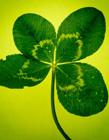 幸运草代表什么意思 最美的幸运草图片
