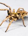 家里的蜘蛛会咬人吗
