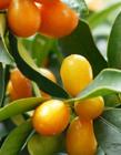 金桔什么时候上市 金桔几月份成熟 金桔什么时候成熟