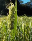 小麦未成熟时能吃么 小麦未成熟可以做菜吗