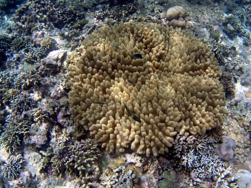 珊瑚的功效与作用