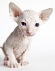 斯芬克斯猫图片 斯芬克斯猫多少钱一只