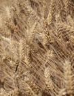 成熟的小麦图片 小麦成熟期图片 小麦在什么季节成熟
