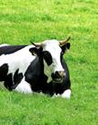 高清奶牛照片 奶牛的照片
