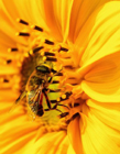 小蜜蜂图片大全可爱 勤劳小蜜蜂可爱图片