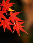 唯美枫叶实拍 唯美枫叶图片