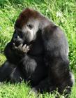 大猩猩�D片 大猩猩是�s食�游�� 大猩猩的力量有多大