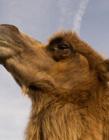 骆驼头部图片 网友:体毛褐色躯体高大