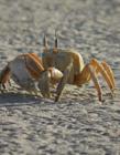 活螃蟹图片 沙滩上的螃蟹图片