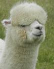 羊驼高清照片 羊驼是羊还是骆驼 羊驼是国家保护动物吗