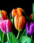 郁金香图片大全大图 郁金香代表什么意思 郁金香花期