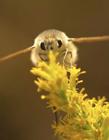 安蜂虻�D片 安蜂虻照片