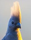 鳞鹌鹑图片 网友:头上毛好像美丽的凤头