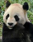 为什么大熊猫是国宝 熊猫哪一年成为国宝