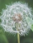 蒲公英是一年生植物吗 蒲公英的特点是什么