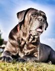 猛犬卡斯罗图片 猛犬卡斯罗图片大全 猛犬卡斯罗多少钱一只
