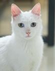 白色猫咪图片 可爱的白色猫咪图片 猫是群居动物吗