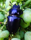 雄鹿甲虫图片 雄鹿甲虫是益虫吗