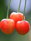 烟台大樱桃图片 烟台大樱桃成熟时间 烟台樱桃几月份成熟