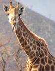 长颈鹿英语怎么读 长颈鹿是不是鹿