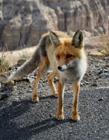 狐�照片 狐�是��家保�o�游�� 狐�是不是保�o�游�