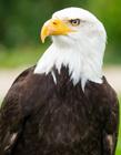 白头鹰图片 白头鹰用英语怎么说