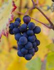 葡萄照片 葡萄是�嵝赃�是�鲂� 葡萄吃多了��上火��