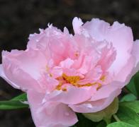 中国十大名花之一国花牡丹花图片
