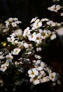 珍珠花��~�C�菊高清�D片