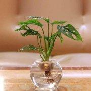 小型桌面盆栽水生富贵竹图