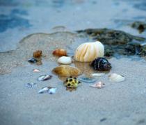 海边的贝壳图片