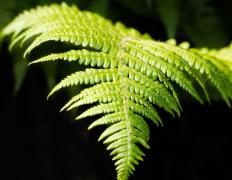 �G色蕨�植物�D片