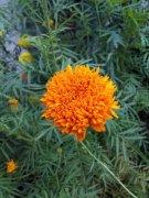 四季花万寿菊植物高清图片