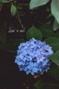 蓝色的八仙花绣球高清植物图片