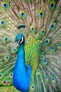 动物孔雀开屏高清图片