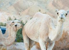 沙漠骆驼动物高清图片