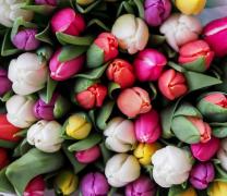 各种颜色的郁金香花植物高清图片