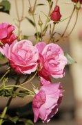 粉色玫瑰花植物高清图片