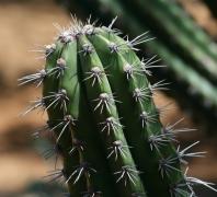 带刺的仙人掌植物高清图片