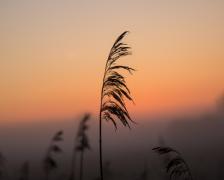 野生芦苇植物高清图片