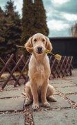 可爱动物萌宠狗金毛图片
