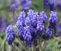 紫色花苞风信子植物花高清图片